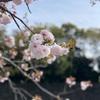 千鳥ヶ淵、桜散策--十分日記235