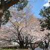 あっ‼️桜