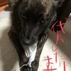 甲斐犬サンと(今頃)マスク問題〜(。-`ω´-)ンー。