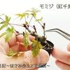 ■モミジ(紅千鳥) Japanese Maple