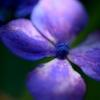 マクロレンズを使って京都で紫陽花や青紅葉を撮ってきた
