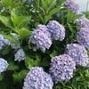 紫陽花は夏至の頃に楽しめる花。紫陽花のおまじないってご存知でしたか?