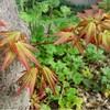 我が庭の 紅葉の鑑賞と役目