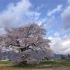長野県大町市の桜スポット「須沼の一本桜」情報2021