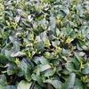 続々と萌芽! 4月頭の茶畑の様子