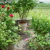 この季節から来年のバラの庭の準備を始めておくことが重要です
