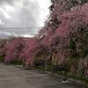 枝垂桜と諏訪四社巡り