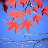 鹿児島県、県民の森の紅葉