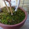 苔の蒴膨らみ始める一月下旬