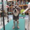 トリミング犬ご紹介