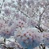代々木公園でお花見🌸忍者がいた(≧▽≦)✨️静岡の桜はまだこれからの様子♪♪
