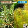 (水草)ロタラsp.カンボジア産(水上葉)(無農薬)(5本)