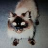 猫紹介 ヒマラヤンのチャッキーの話なの 完全に空気な存在
