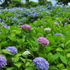 夏を探しに……紫陽花とホタルを撮ってきた(そして、死にかけた)