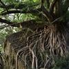 西平椿公園の『アコウの木』 熊本県天草市天草町大江
