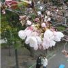 静岡で18日午前に桜の開花を発表!満開は26日頃の予想なので、週末はお花見にGO!!