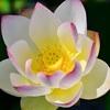 勝林院のハス、見ごろと開花情報。