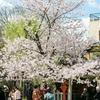 日本旅行2017年4月京都旅行⑦🚌 花見小路に円山公園、知恩院も桜満開でした🌸