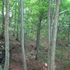 ブナ林の急斜面を登る。
