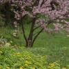 神居古潭の桜【3】