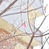 台湾で桜の撮影。