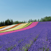 ファーム富田 FARM TOMITA 紫色が一面に広がる世界は北海道が誇る絶景!