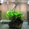 【オトシンクルス繁殖計画#4】初めての大量換水と難しい餌付け