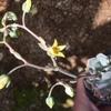 今朝の多肉。ピンクプリティ開花。チワワエンシスの葉挿し始めました…。