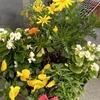 【ベランダガーデニング】冬の強風での水やりが難しいです。そして年越しの日日草!