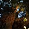 熱海にあるパワースポット「来宮神社」で生命力溢れる大楠を拝もう!17時からは大楠のライトアップも!