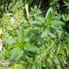 【庭に生えてる薬草と山菜と野菜とか】