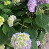 *庭のアジサイが咲き始めました!