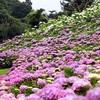 三重のお散歩〜津市の風早の里の紫陽花