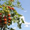 【夏野菜の栽培のための土作り】保育園児の子供と一緒にやりたい!【初心者向け】