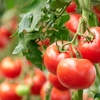 トマトの栄養成分とメリット・デメリットをお教えしますね!