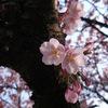 万代長嶺小学校脇の桜2013(0404)