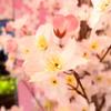 2017/3/24 テーマ水槽「サクラ舞い泳ぐ新緑の春」