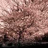 Snapshot  ~『桜 2021』  #2