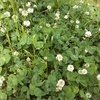 クローバーのシロツメクサで五感を養う!? 摘んで香りを楽しむもよし、花かんむりを作るもよし、料理して食べるもよし?