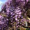 藤の花の季節
