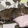 腎不全末期のネコの症状とは?残された時間はどれぐらい?