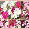 11月/霜月/November/秋桜の季節ですね