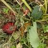 イチゴは土に接しているところが腐る!いちご救出作戦!その②