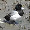 白黒の羽を持つ潜水採餌ガモ。スズガモとキンクロハジロの特徴と見分け方