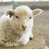 兵庫県で夏休みに牧場で羊とふれあいたいならココがおすすめ!