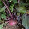 大根とカブは収穫中