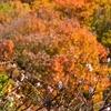 京都のおすすめ紅葉スポット 八瀬編。紅葉と桜が同時に見れますよ!