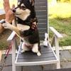 【大阪 犬カフェ】柴犬・大和ちゃんのスタバ デビュー!【犬 同伴OK】