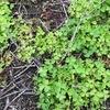 """オクサリス 詳しい情報がネット上にない比較的新しいこのハーブはカタバミ属.普通のカタバミと同じ黄色い花をつけますが,葉に切れ目があってハート型.ネット上で探した中では,Oxalis stricta の画像が最も近い """"NHK まんぷく農家メシ!ルッコラ"""" に登場したハーブたち1"""