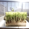 【キッチン菜園】豆苗を育てて食べて3度楽しむ!(再生栽培してみた)